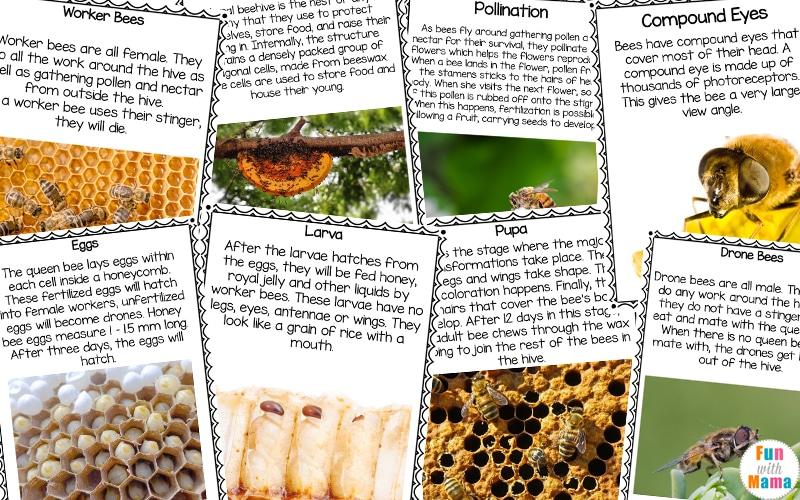 bee life cycle