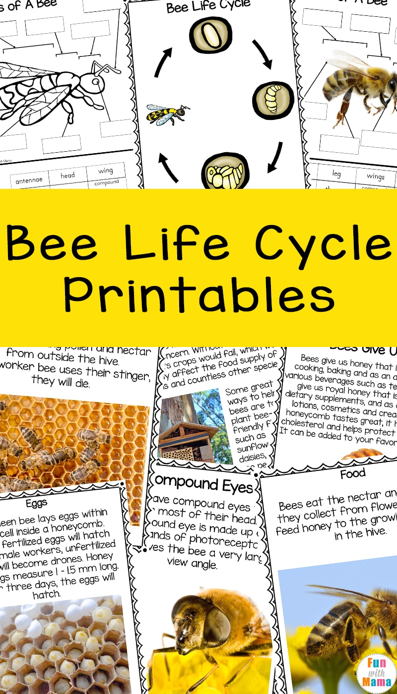 bee life cycle printables for kids